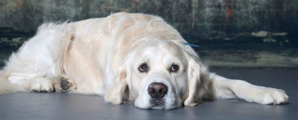 This Study on 3,000 Very Good Golden Retrievers Could Help All Dogs Live Longer