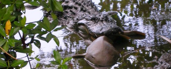 Alligators have been caught feasting on sharks in a bizarre predator cross over