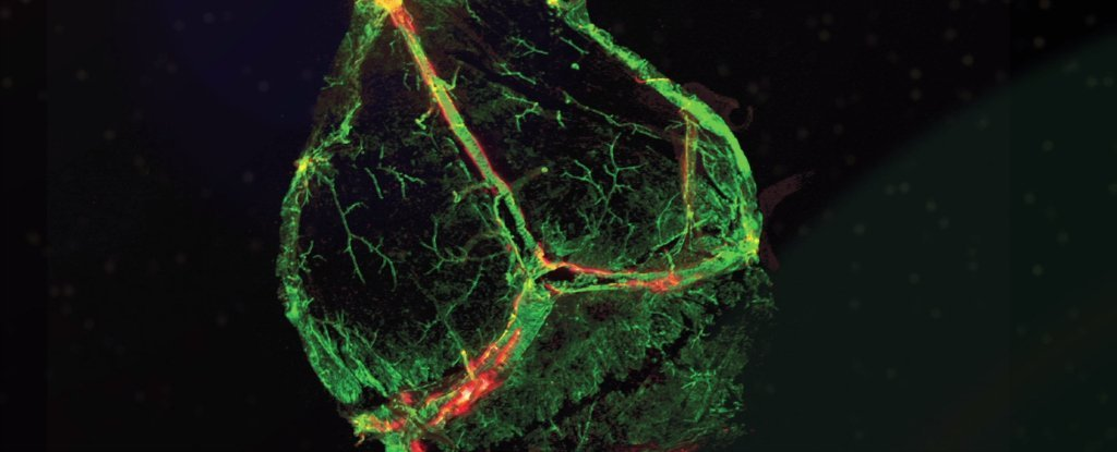 Scientists Have Discovered Never-Before-Seen Vessels in The Brain