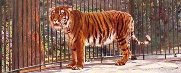 Scientists have a plan to bring back the Caspian tiger, which has been extinct for 50 years