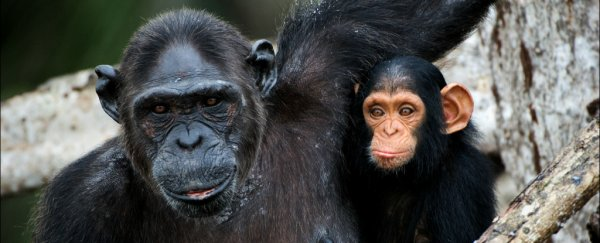 Here's the horrifying reason why scientists see so few baby chimps born in the wild