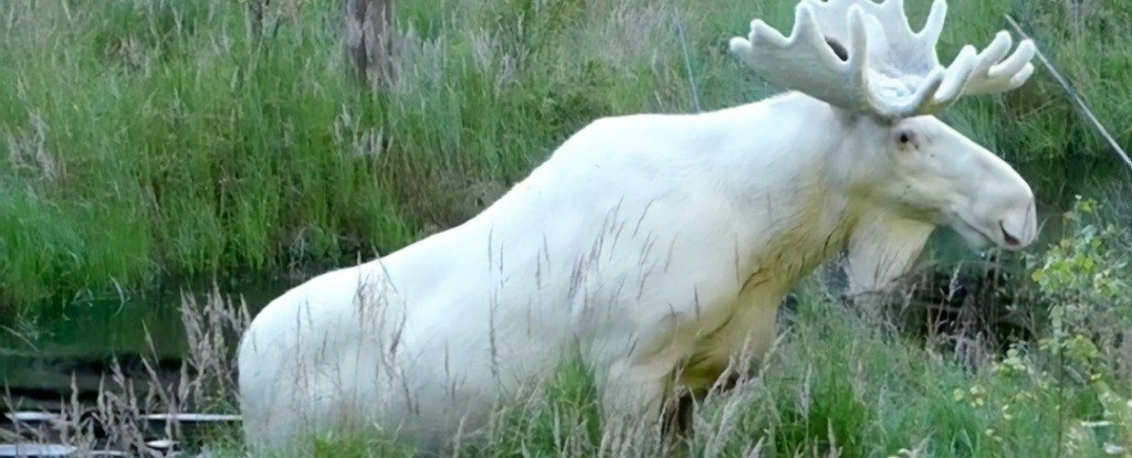 Sweden's Incredibly Rare White Moose Was Nearly Killed Earlier This Week