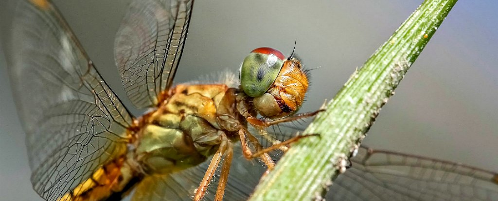 Dragonfly Wings Can Rip Apart Bacteria Without Antibiotics