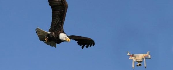 A Dutch company is training eagles to take down drones