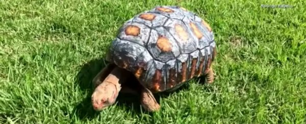 Adorable tortoise receives a 3D-printed shell after being burnt in a fire