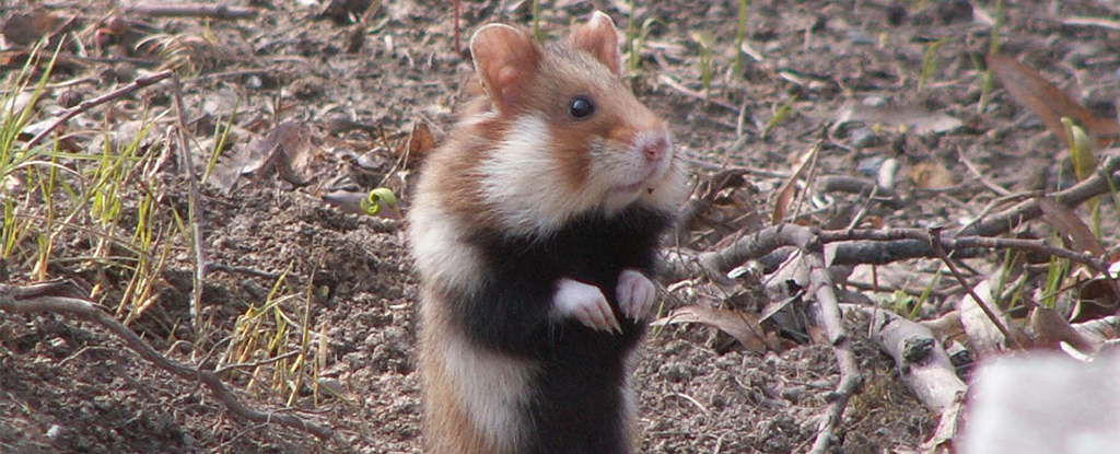 a diet of corn is transforming french hamsters into raging cannibals. Black Bedroom Furniture Sets. Home Design Ideas