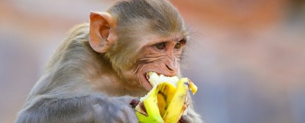 Monkeys that eat fewer calories really do live longer and healthier, two major studies find