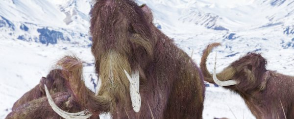 Harvard scientists say they could be just 2 years away from resurrecting woolly mammoth genes