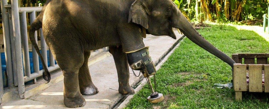 Meet Mosha, The First Elephant to Receive a Prosthetic Leg