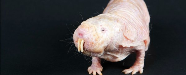 We finally know how naked mole rats survive without oxygen, and it's really freaking weird