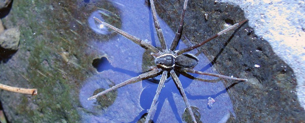 Scientists Found A New Spider In Australia That Can Swim And Catch Fish