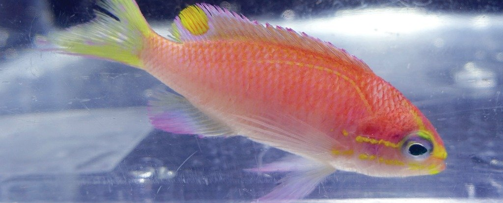 This recently discovered hawaiian fish has been named for Fish species hawaii