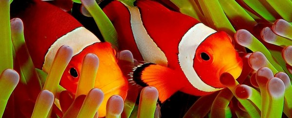 Clownfish Have Started Sharing Their Homes Because Times Are