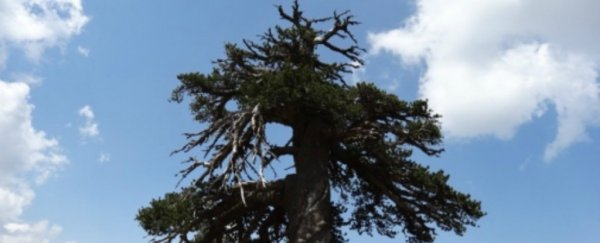 At 1,075 years old, this might be the oldest living tree in Europe