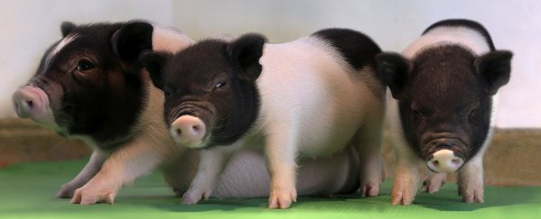 We just took a huge step closer to organ transplants from pigs into humans