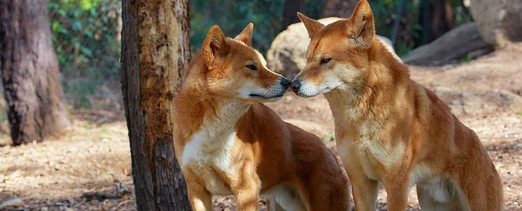 The Culling of Australia's Dingoes Is Having a Strange Effect on Plant Life