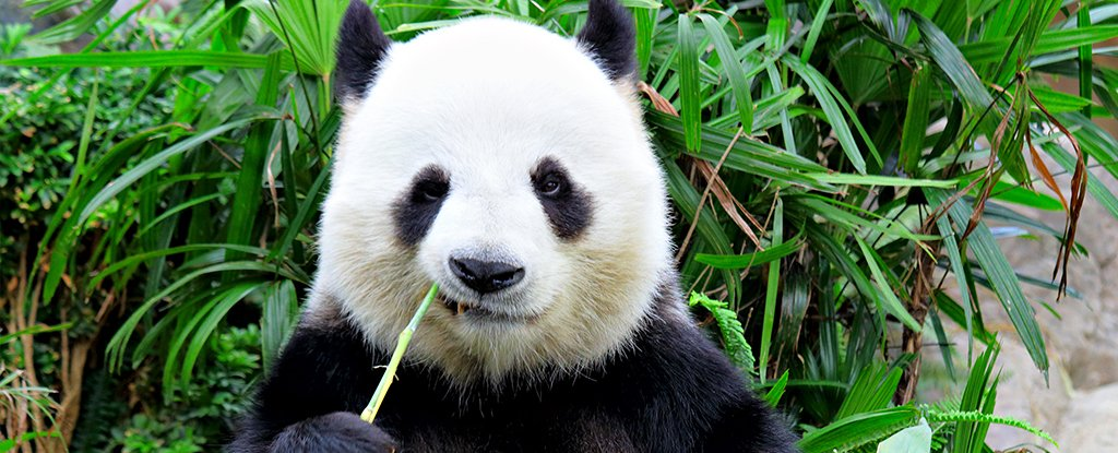 Scientists Explain The Depressing Reason Why Pandas Are Black And White