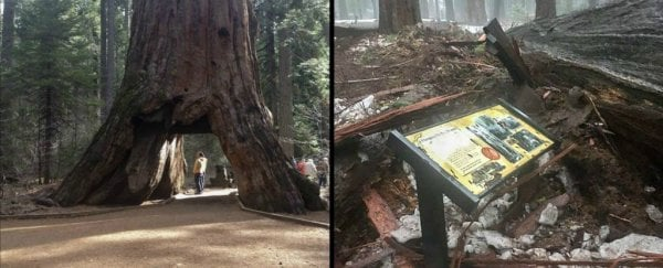 California's iconic 'tunnel tree' has finally fallen