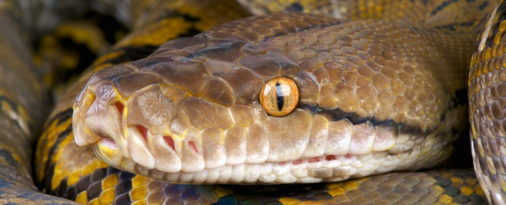 Giant Pythons Keep Attacking People in Indonesia For a Really Worrying Reason