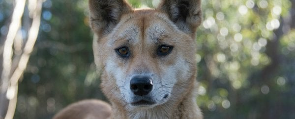 This dingo has won the title of the world's most interesting genome