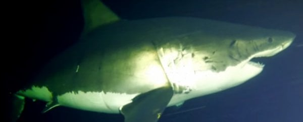 WATCH: The first video of a great white shark sleeping