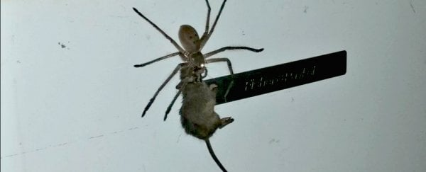 Watch this giant Australian spider drag a mouse up a refrigerator and into your nightmares