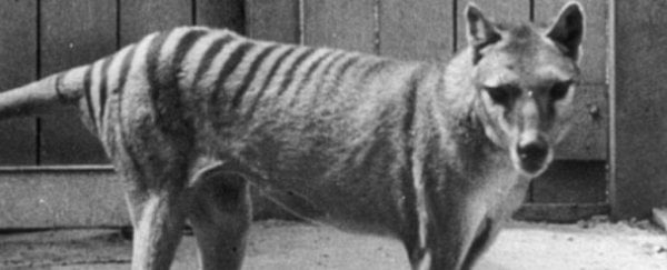 Researchers have reconstructed the brain of the extinct Tasmanian tiger