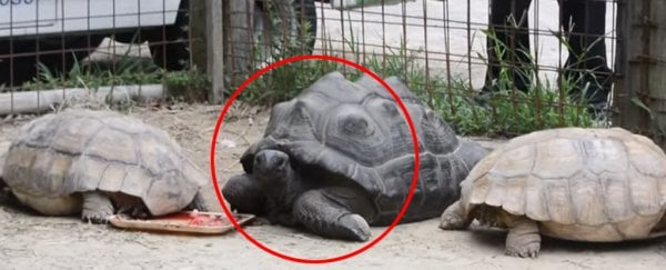 Rebel giant tortoise caught by bounty hunters after two weeks of freedom