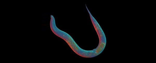 This worm has gone 18 million years without sex, and we now know its secret