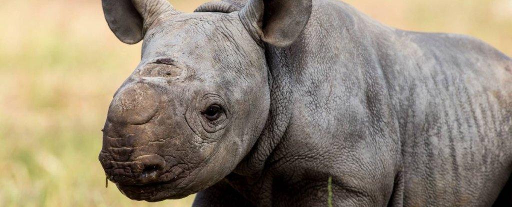 An Incredibly Rare Black Rhino Has Been Born at an Australian Zoo