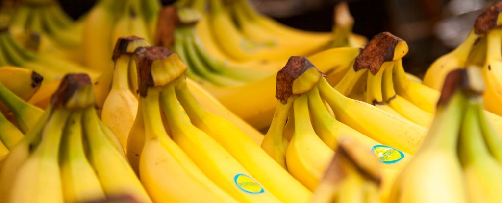 Fungal Disease Could Wipe Bananas Out in 5 to 10 Years