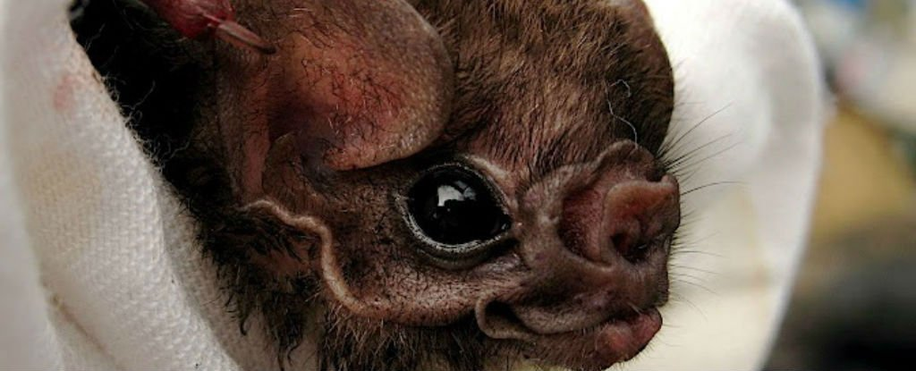 These Brazilian Vampire Bats Have Started Feeding on Humans For The First Time