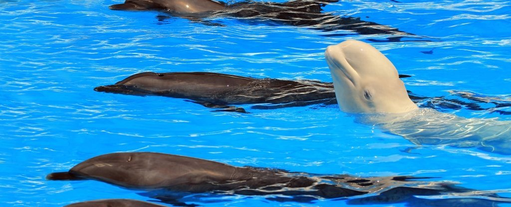 Telescoping additionally Dolphin Skeleton further SpinnerDolphin further 14777505000152686 additionally Dolphins underwater. on bottlenose dolphin