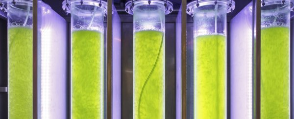 Gene-editing algae doubles biofuel output potential
