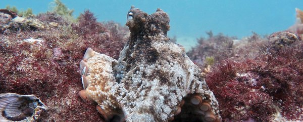 Biologists just discovered an underwater octopus city and they're calling it Octlantis