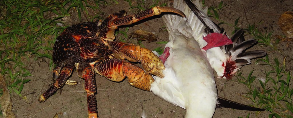 Coconut Crab Eating Cat
