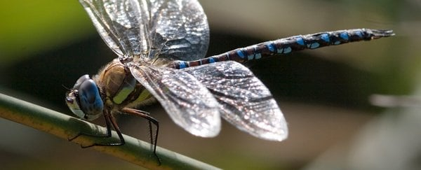 Females in this dragonfly species play dead to shake off persistent suitors