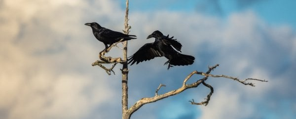 13 Surprisingly Weird Reasons Why Crows And Ravens Are The