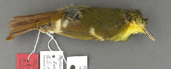 Turns out one of world's rarest songbirds never actually existed