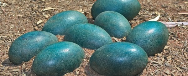 Blue dinosaur eggs have revealed a surprise about ancient bird-like creatures