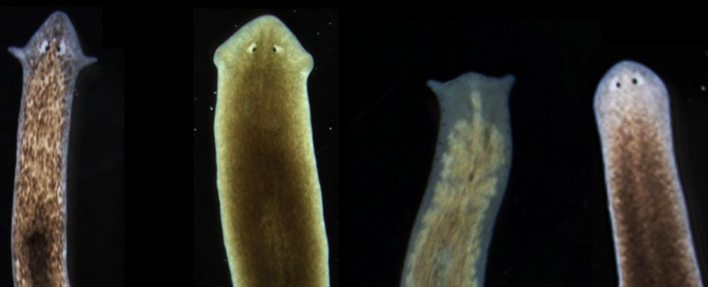 Scientists Induce Flatworms To Grow Heads And Brains Of Other Species