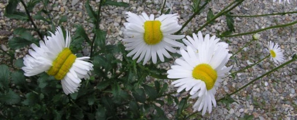 New Photos Show Mutated Daisies Growing Near Fukushima