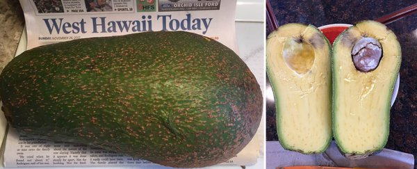 This gigantic avocado discovered in Hawaii could break a world record