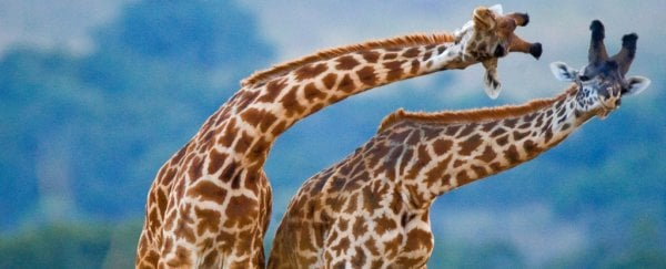 Giraffes didn't evolve long necks simply to reach tree leaves, new study shows