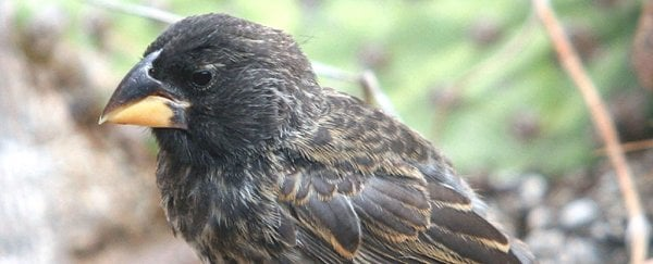 A new bird species has evolved on Galapagos and scientists watched it happen