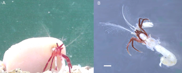 Newly discovered hermit crab species carries around a giant coral house