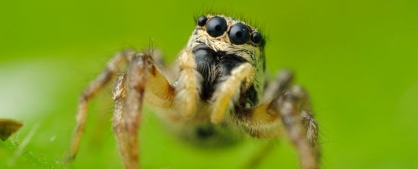 Science Twitter has worked out that jumping spiders can see the Moon