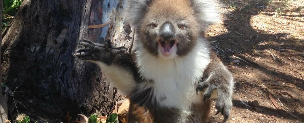 Watch: Koala Gets Kicked Out of a Tree And Throws a Tantrum