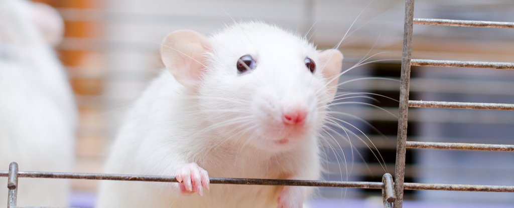We Now Know Why Some Diabetes Drugs Work in Mice But Totally Fail in People