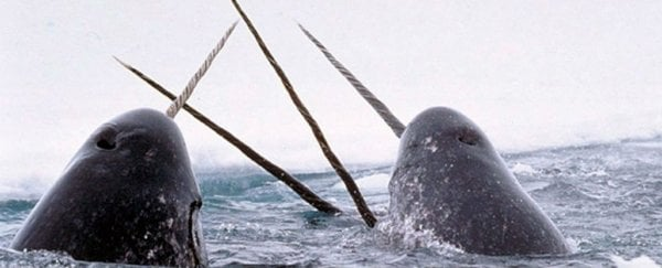 This never-before-seen footage reveals the violent purpose of the narwhal's tusk